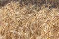 Beautiful field golden ripe rye in sun with before harvest sunlight Stock Images