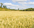 Beautiful field On A Summers Day Royalty Free Stock Photo