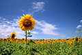 Beautiful field sunflowers Royalty Free Stock Photo