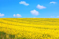 Beautiful fields of rape in Springtime Royalty Free Stock Photo