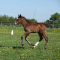 Beautiful filly on pasturage brown spring alone Stock Image