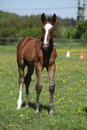 Beautiful filly on pasturage brown standing spring alone Royalty Free Stock Photo