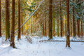 Beautiful fir forest on a winter morning Royalty Free Stock Photo