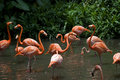 Beautiful flamingos jurong bird park Royalty Free Stock Images