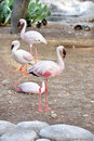 Beautiful Flamingos with red and black beak Royalty Free Stock Image
