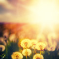 Beautiful floral background dandelion flowers on green spring meadow and sunrise Royalty Free Stock Photography