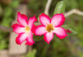 Beautiful floral background. Tropical flower Pink Adenium. Royalty Free Stock Photo