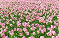 Beautiful flower background. Amazing view of bright white tulips blooming in the garden at the middle of sunny spring day with gre
