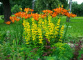 Beautiful flower bed of lilies Royalty Free Stock Photo