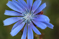 Beautiful flower of chicory on a green summer meadow. Royalty Free Stock Photo