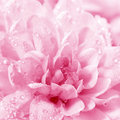 Beautiful flower Chrysanthemum Royalty Free Stock Image