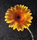Beautiful flower close up Royalty Free Stock Photo