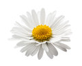 Beautiful flower daisy Stock Photos