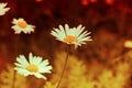 Beautiful flower lawn grass sunset sunshine Royalty Free Stock Photo