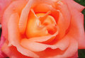 Beautiful flower light pink rose close up as background Stock Photo