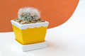 Beautiful flower of mammillaria bocasana in ceramic flower pot cute small cactus on white paper with orange wall Royalty Free Stock Photos