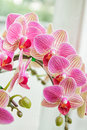 Beautiful flower Orchid, pink phalaenopsis Royalty Free Stock Photo