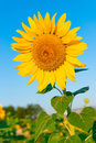 Beautiful flower of a sunflower Royalty Free Stock Photo