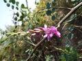 Beautiful flower of true indigo indigofera indica plant macro close up