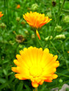 Beautiful flower of yellow calendula Royalty Free Stock Photo