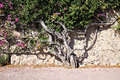 Beautiful flowered tree Royalty Free Stock Photo