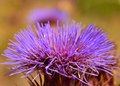 Beautiful flowerhead of wild artichoke in full splendor flower all its Royalty Free Stock Photos