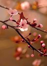 Beautiful flowering Japanese cherry Royalty Free Stock Photo