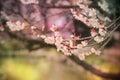 Beautiful Flowering Japanese C...