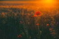 Beautiful, flowering poppy field Royalty Free Stock Photo