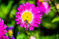 Beautiful  flowers with the bee Royalty Free Stock Photo
