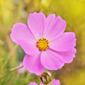 Beautiful flowers cosmos Stock Images