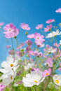 Beautiful flowers cosmos Stock Image