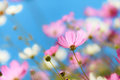 Beautiful flowers cosmos Royalty Free Stock Photo