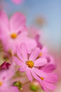 Beautiful flowers cosmos Stock Photo