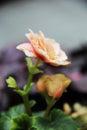 Beautiful Flowers Flora Orange Roses