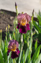 Beautiful flowers of iris. Beautiful irises on green background.