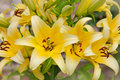 Beautiful flowers of yellow lilies Royalty Free Stock Photo