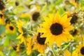Beautiful flowers of yellow sunflower Royalty Free Stock Photo