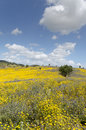 Beautiful and flowery yellow meadow a blue sky clouds makes a strong color contrast Royalty Free Stock Photography