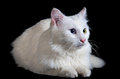 Beautiful fluffy white cat with different eyes isolated on a black background Royalty Free Stock Photo