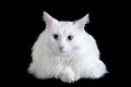 Beautiful fluffy white cat with different eyes isolated on a black background Stock Photo
