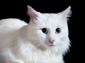 Beautiful fluffy white cat with different eyes isolated on a black background Stock Photos