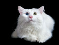 Beautiful fluffy white cat with different eyes isolated on a black background Royalty Free Stock Images