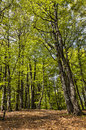 Beautiful footpath green deciduous forest spring located vosges mountains eastern part france Royalty Free Stock Photography