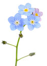 Beautiful Forget-me-not (Myosotis) Flowers Stock Images