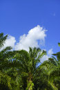 Beautiful formation of palm tree under deep blue sky. Royalty Free Stock Photo