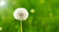 Beautiful fragile dandelion clock or seed head on a blurred green spring background with copyspace Royalty Free Stock Image