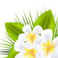 Beautiful Frangipani Royalty Free Stock Photo