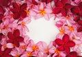 Beautiful Frangipani flower frame on white background Royalty Free Stock Photo