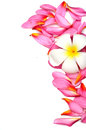 Beautiful frangipani flowers border design Stock Image